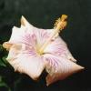 Pink_Rays.jpg