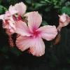 Pink_Swan.jpg
