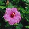 Sweet_Violet.jpg