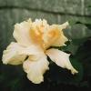 White_Kalakua.jpg