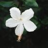 White_Swan.jpg