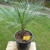 Jubea chilensis.JPG