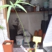 cycas-petrea.jpg
