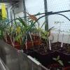 kweekbak  met palm en cycas zaailingen.JPG