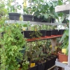 planten 4 rijen hoog in verwarmde kas.JPG