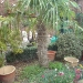 trachycarpus-fortunai-in-volle-grond.jpg