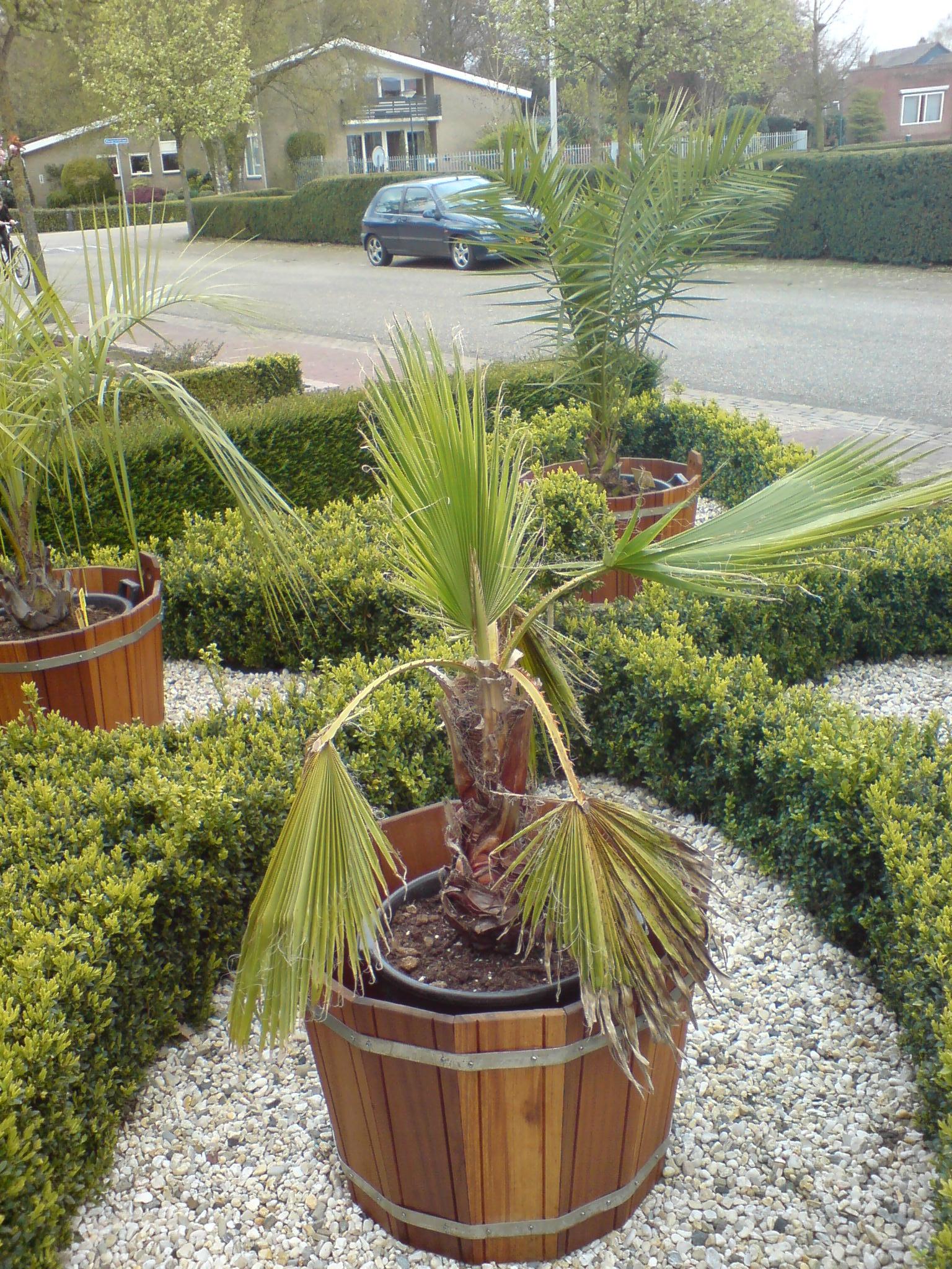 washingtonia-robusta.jpg