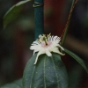 Smilacifolia.jpg
