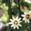 Yucatanensis.jpg