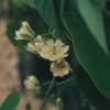 lancetillensis.jpg