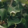 penduliflora1.jpg